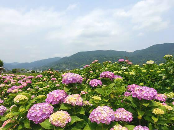 神奈川 紫陽花 名所