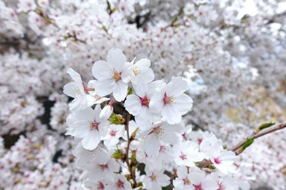 布引観音 桜 開花状況