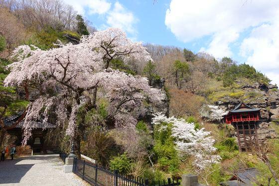 布引観音 桜