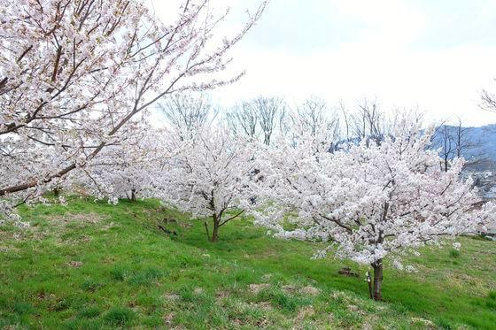 飯綱山公園 桜 見頃