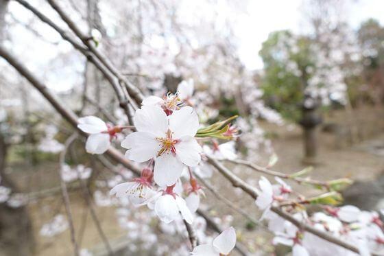 小諸 海応院 桜