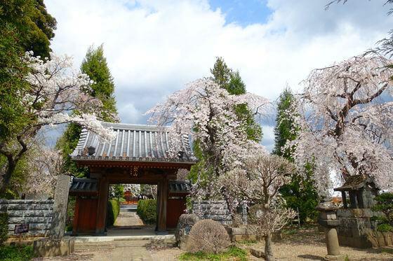 海応院 小諸 桜