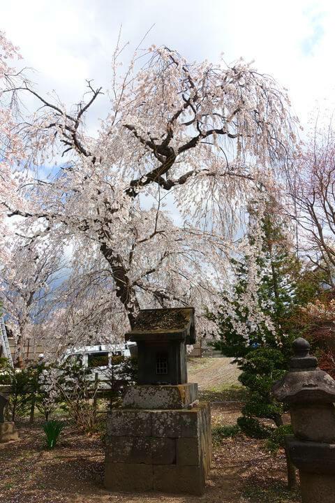 海応院 枝垂れ桜
