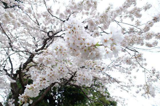 海応院 桜