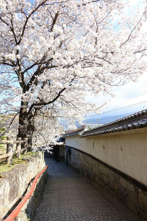 小諸城 桜