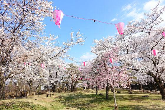 懐古園 桜