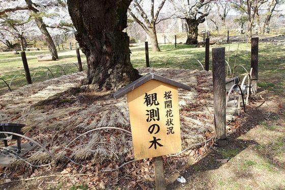 小諸 桜 観測の木