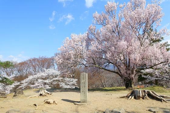 小諸城址 桜