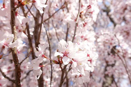 小諸 桜 開花状況
