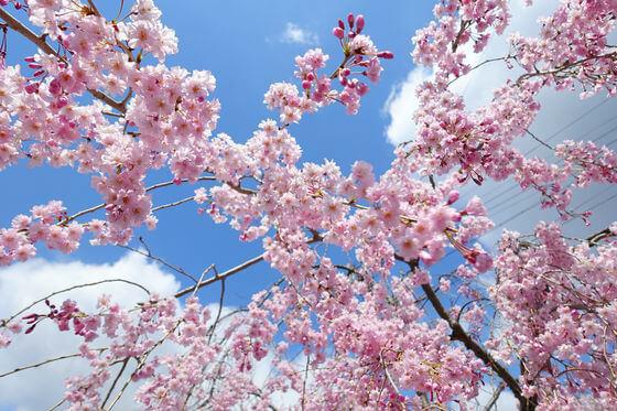 小諸城大手門 桜 見頃