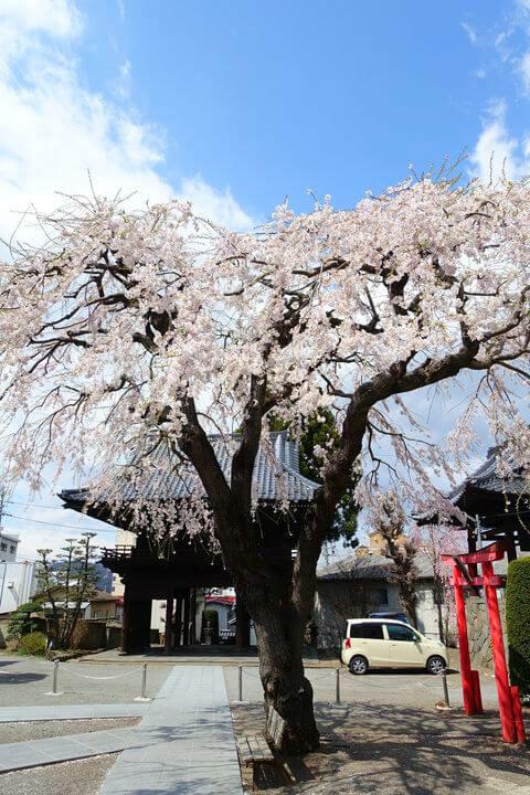 光岳寺 小諸 しだれ桜