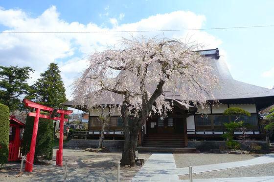 光岳寺 しだれ桜