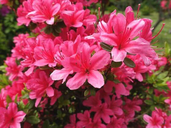 旧芝離宮恩賜庭園 ツツジ 開花状況