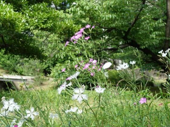 旧芝離宮恩賜庭園 なでしこ