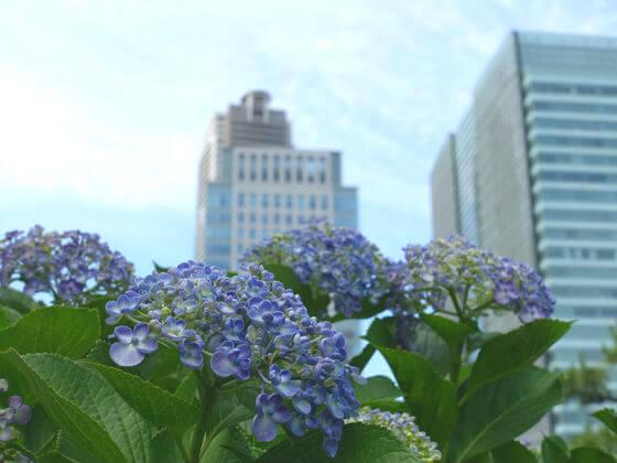 港区 紫陽花