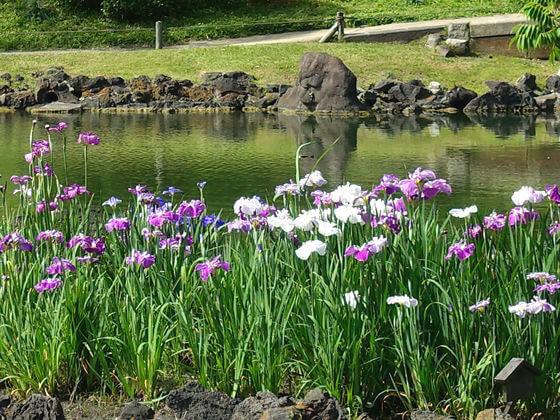 旧芝離宮恩賜庭園 花菖蒲