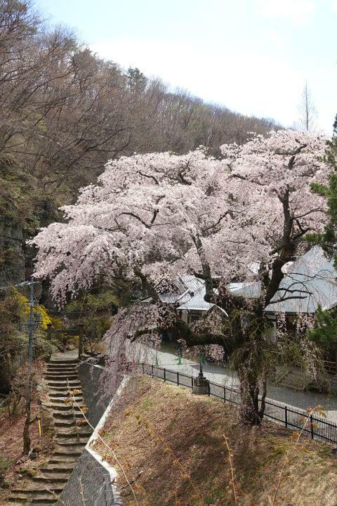 釈尊寺 しだれ桜