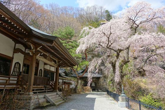 布引観音 枝垂桜