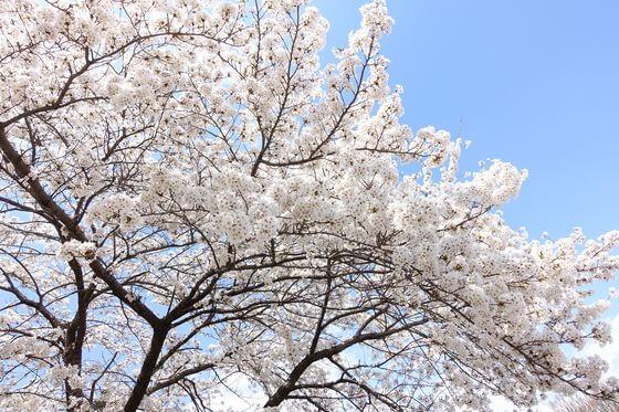 桜 釈尊寺