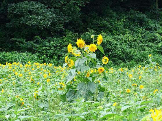 三ツ境 向日葵