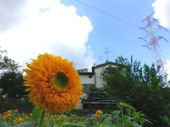 追分市民の森 向日葵