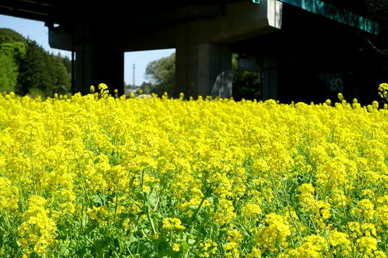 横浜 菜の花
