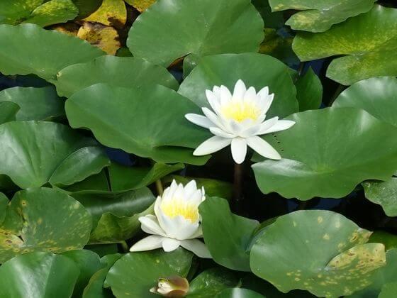 三溪園 睡蓮