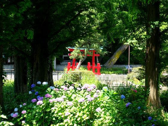 洗足池公園 アジサイ