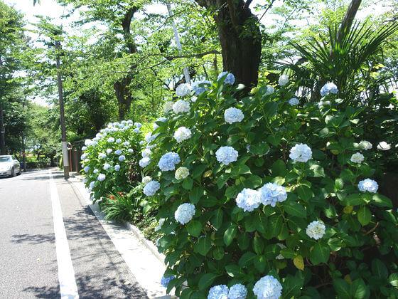大田区 紫陽花