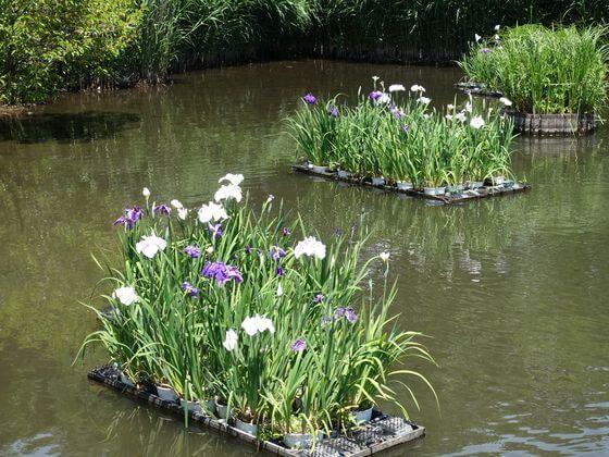 洗足池公園 花菖蒲
