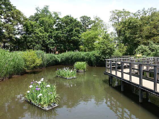 洗足池公園 ハナショウブ