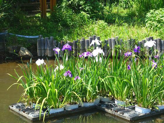 洗足池公園 花しょうぶ
