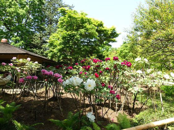国営昭和記念公園 牡丹 場所