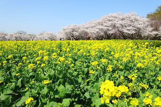 国営昭和記念公園 菜の花
