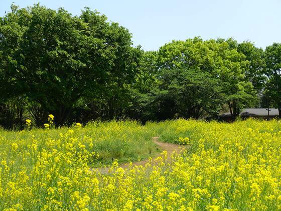 昭和記念公園 菜の花