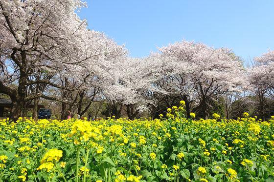国営昭和記念公園 菜の花 場所