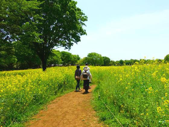 立川 菜の花