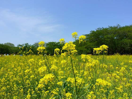 国営昭和記念公園 菜の花 開花状況