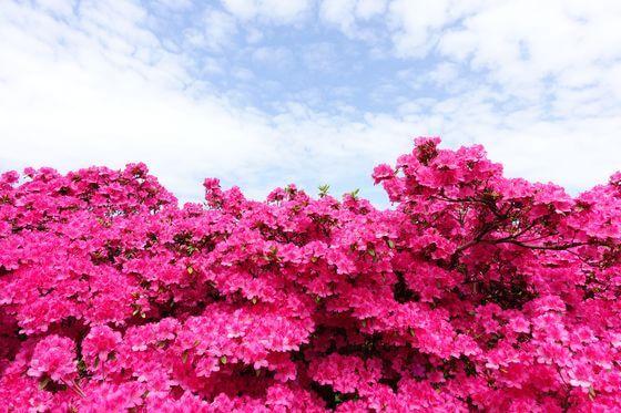 館林 つつじ 開花状況