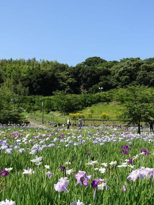 横須賀しょうぶ園 ハナショウブ