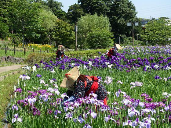 横須賀しょうぶ園 花菖蒲