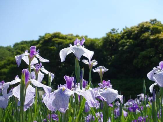 横須賀しょうぶ園 花菖蒲 開花状況
