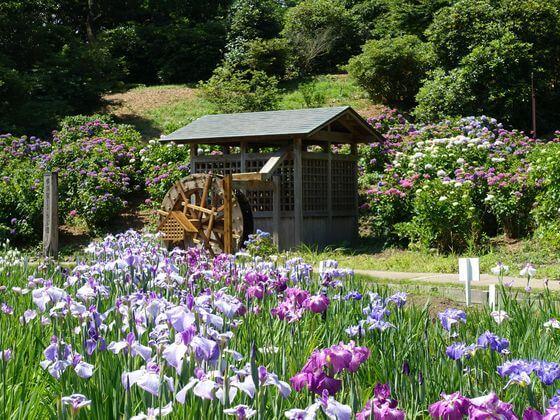 横須賀しょうぶ園 花菖蒲 見頃