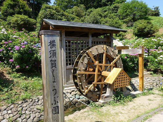 横須賀しょうぶ園 花しょうぶ
