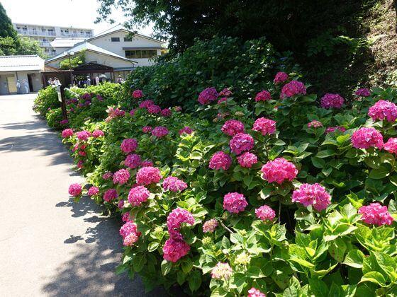 横須賀しょうぶ園 紫陽花