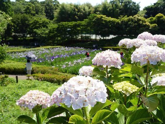 横須賀しょうぶ園 アジサイ