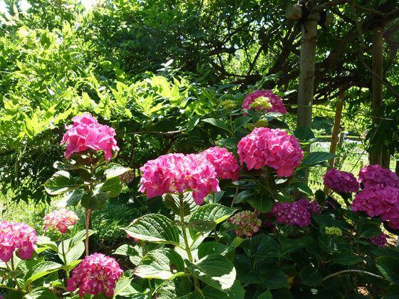 横須賀 紫陽花