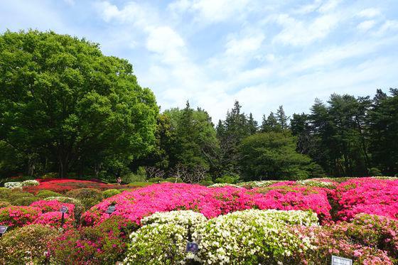 神代植物公園 つつじ
