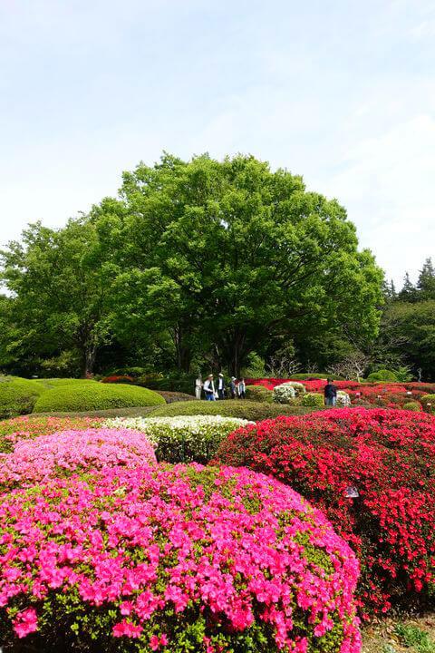 神代植物公園 躑躅