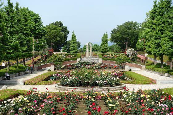秋留台公園 バラ